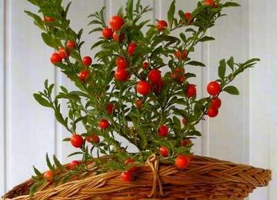 Комнатные цветы с красными ягодами название и фото
